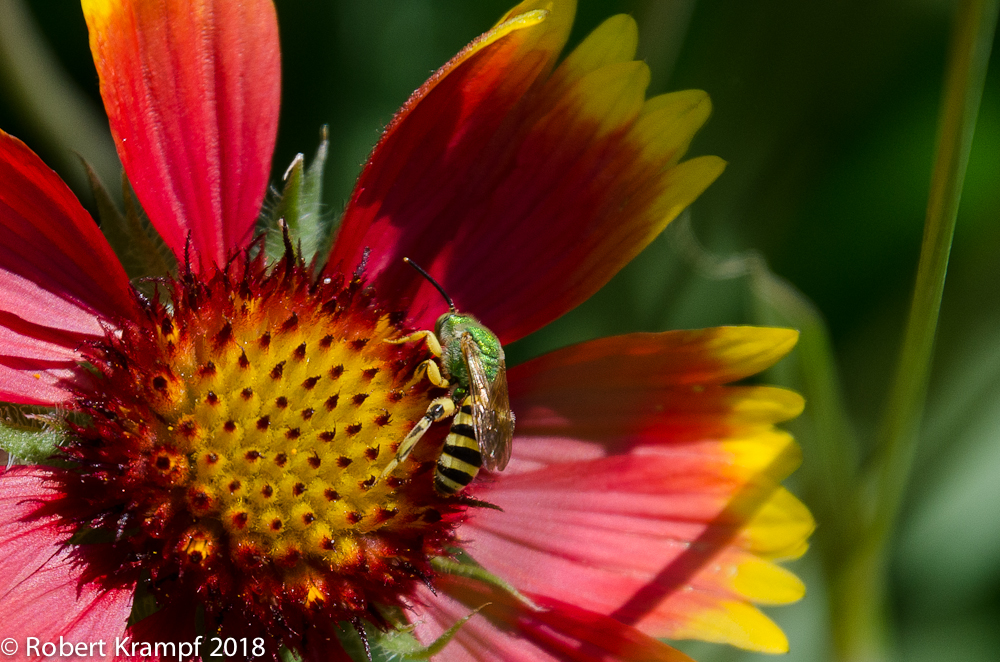 Male Agapostemon Bee