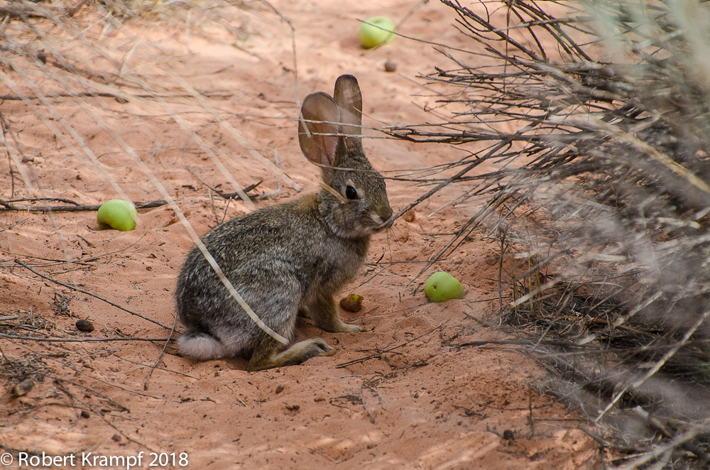 Desert Cottontail enjoying an apple