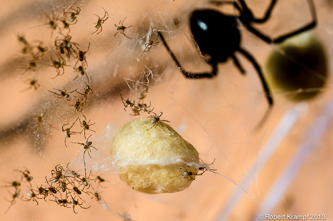 Black widow spider and baby spiders