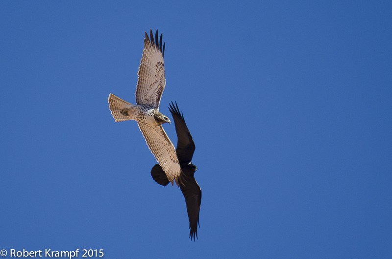 Red-tailed hawk and raven