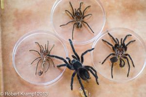 Tarantula and molts