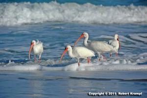 white ibis in beach surf