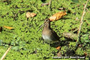 small, long billed bird